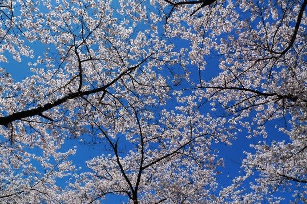 high park sakura